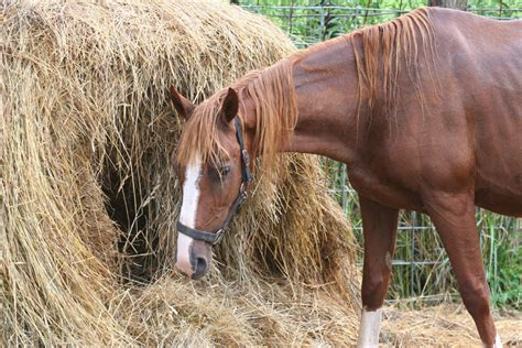hay horse moldy bale pssm round equine heaves horses eating copd barn mold grass feed stable supplements avoid nutrition stables