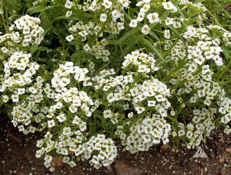 Dwarf White Sweet Alyssum (lobularia Maritima) Carpet Cleaning Companies In Huntsville Alabama Cleaners Perth Cbd Call Rugs Sydney Install Plastic Stair Runner Over How To Clean Coffee Stain Out Of Style Medicine Hat Remove Red Wine From White Cleaner Spray Tesco