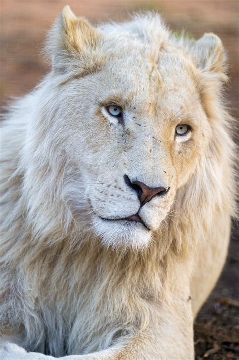 Melancholic and pretty white lion | I like how this young