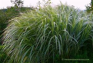 Miscanthus Sinensis Variegatus : pennisetum setaceum rubrum the gardener 39 s eden ~ Eleganceandgraceweddings.com Haus und Dekorationen