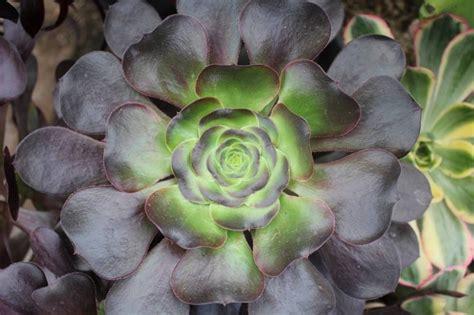 aeonium purpureum 1000 images about crasas y suc que tengo on pinterest sun leaves and more photos