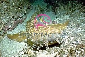 FreshMarine.com - Wobbygong Shark - Orectobobus species ...