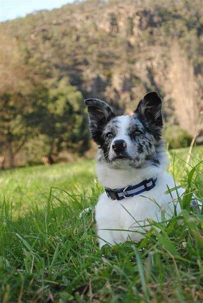 Koolie Dog Grass Coolie Australian German Dogs
