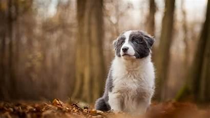 Dog Border Collie Puppy Wallpapers 1080p Autumn