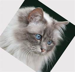 domestic cat breeds