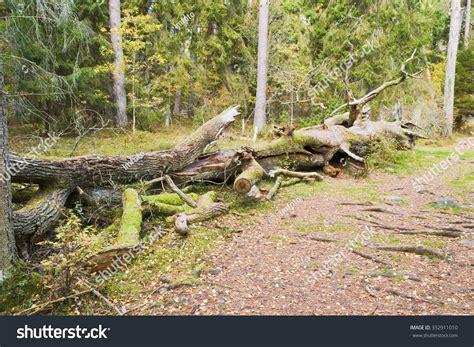 cuisines habitat coarse woody debris habitat on forest stock photo