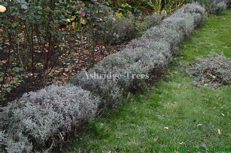 how to prune a lavender bush pruning lavender plants advice from ashridge nurseries