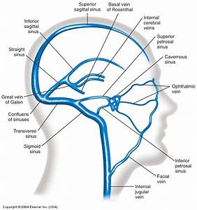 Venous Sinuses Of The Brain