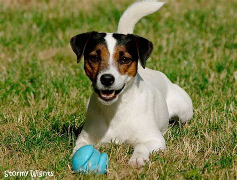 flyball parson jack russell terrier