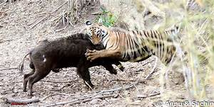 Bengal Tigers Attacking