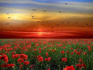 Sunset, Sky, Red, Clouds, Birds, Field, With, Poppies, Red, Flowers