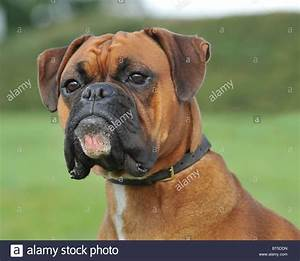 boxer dog head study Stock Photo, Royalty Free Image ...