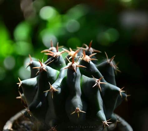 ดูลึกลับ 😎 #ferocactus . #mini3garden #cactusway . #ดิน ...