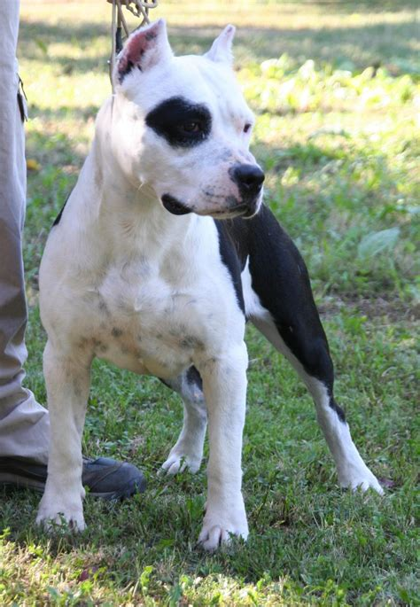 American Staffordshire Terrier Jack Ataxia Clear