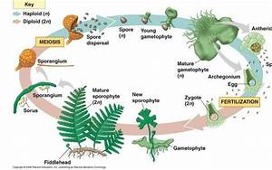 What Are Reduced Gametophytes  What Are The Advantages Of