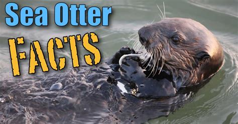 sea otter facts information  kids pictures video