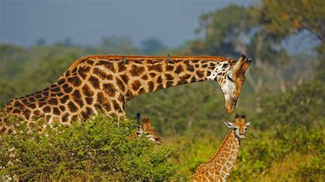 Giraffe Dad - Bing Wallpaper Download