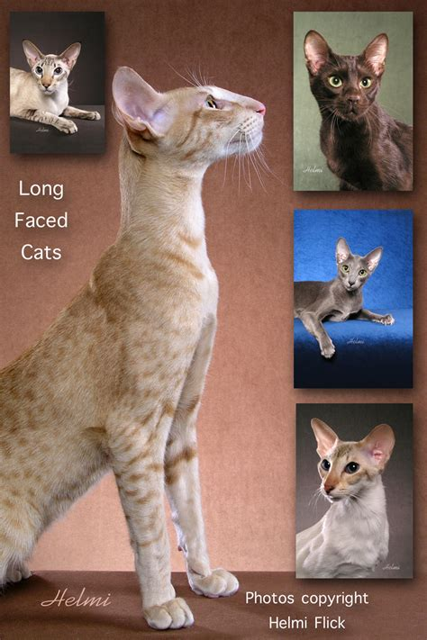 Long Faced Cats – PoC