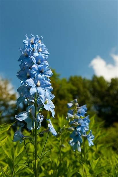 Larkspur Flower Flowers Birth Month Gladiolus August