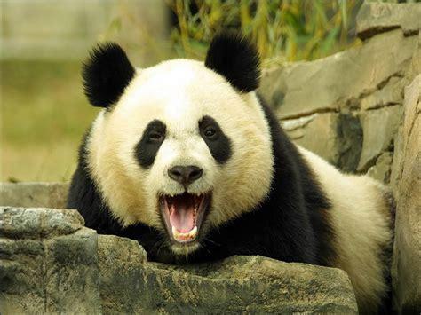 panda song wallpaper wallpapersafari
