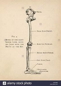 Human Foot Anatomy Stock Photos  U0026 Human Foot Anatomy Stock