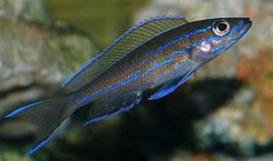 nigripinnis blue neon Frompo 1