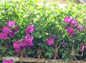 Taille De L Hibiscus : la taille de l 39 hibiscus ~ Melissatoandfro.com Idées de Décoration