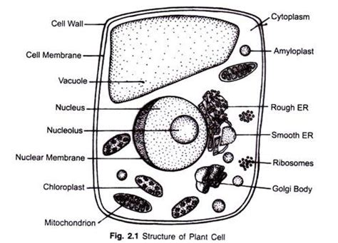 Structure Of Plant Cell (explained With Diagram