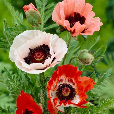 pictures of kitchen faucets zyverden poppies mixed roots pack of 5 11380 the