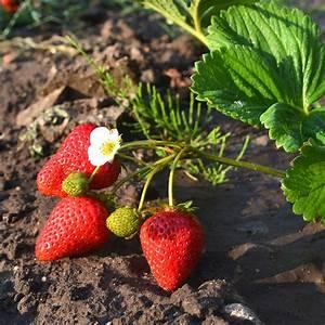 Plant De Fraisier : fraisier 39 mariguette cov marionnet 99 39 lot de 20 plants en ~ Premium-room.com Idées de Décoration