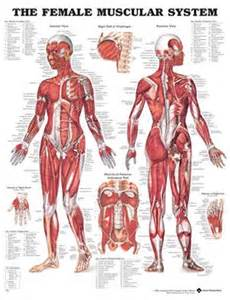 the muscular system labeled diagram