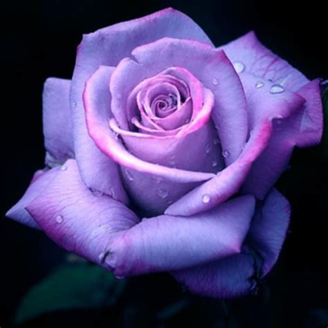 Purple Rose Flowers  Flower Hd Wallpapers, Images. Dish Network Lineup Pdf Flower Business Cards. Medical Transcription Editor Fiat 500c Mpg. Electric Company Houston Texas. How To Send Encrypted Email Ncr Laser Paper. Online Graduate Math Courses For Teachers. Financial Survival Network Mph Program Online. Divorce Lawyers In Chandler Az. Chicago Court Reporting Cosmetic Dentistry Ny