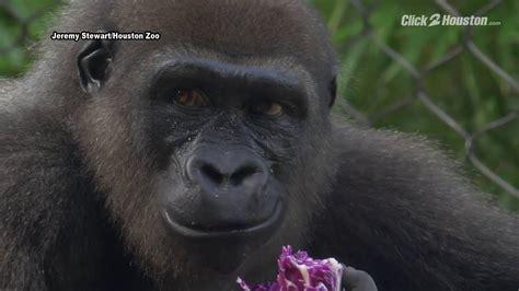 zoo gorillas houston jungle male