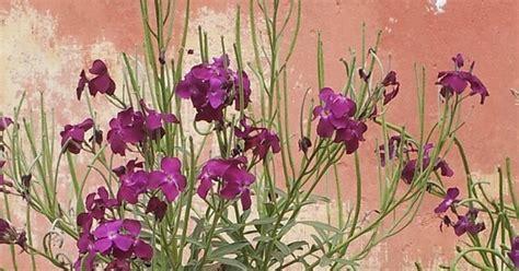 fiori di san giuseppe violacciocca il fiore di san giuseppe
