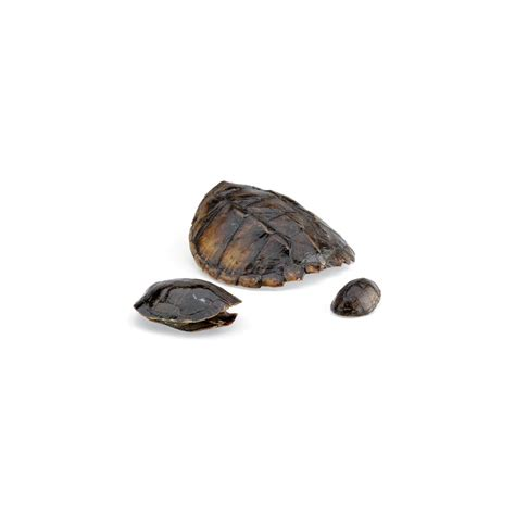 turtle shell real turtle shells turtle shells for study or display