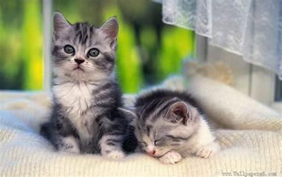 Kittens Wallpapers Cats Animal Windows Cat Kitten