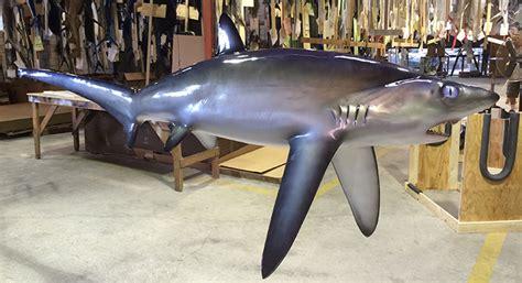 shark custom mount thresher trophy creations graytaxidermy