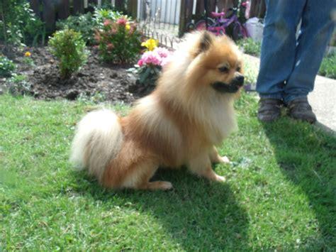 Stunning Pomeranian Dog For Sale Scunthorpe