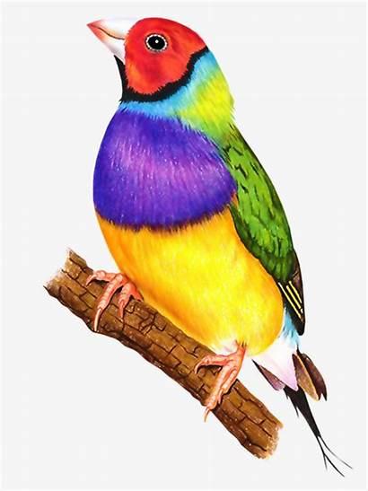 Birds Bird Clipart Colorful Oiseaux Drawings Watercolor
