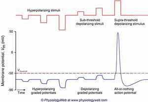 Hyperpolarisant : définition de hyperpolarisant