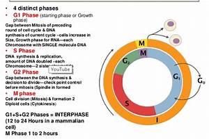35 Cell Cycle Phases Diagram