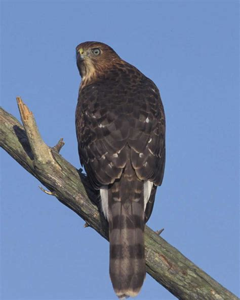 cooper s hawk audubon field guide