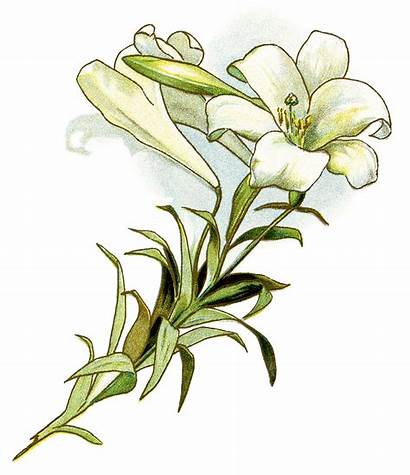 Easter Clipart Lilies Flowers Lily Flower Clipground