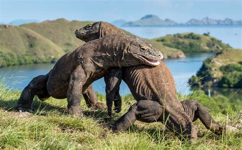 indonesia mulls komodo dragon park closure  bali tax