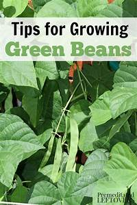 How to Grow Green Beans in Your Garden - From Seed to Harvest