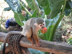 Spider monkey eating fruit - Picture of Monkey Jungle and ...