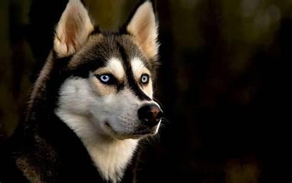 Wallpapers Husky Dog Screensavers Dogs Backgrounds Wallpapersafari