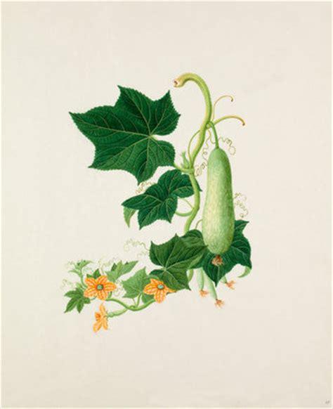 benincasa hispida   royal horticultural society