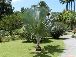 Palmier De Jardin : palmier photo de jardin de balata fort de france ~ Nature-et-papiers.com Idées de Décoration