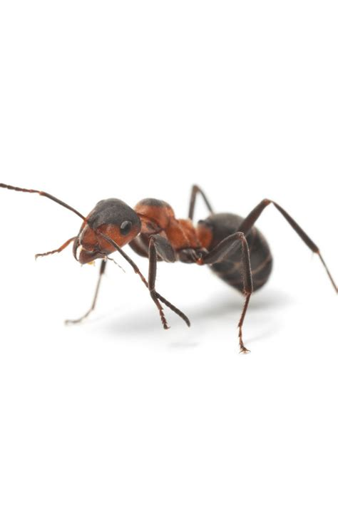 ants in kitchen preventing ants in kitchen using common household products